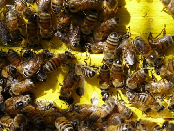 زنبورستان میرنجمی